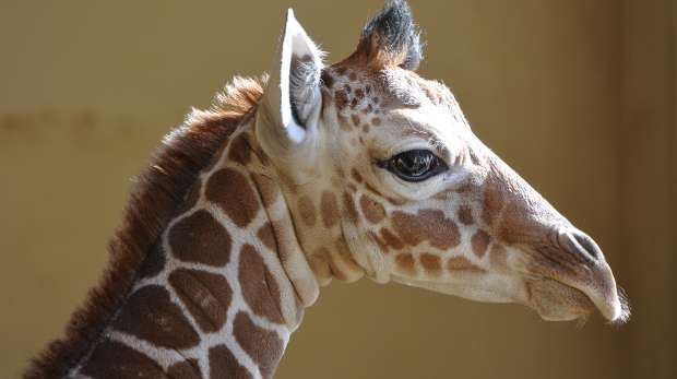 Baby giraffe at ZSL Whipsnade Zoo