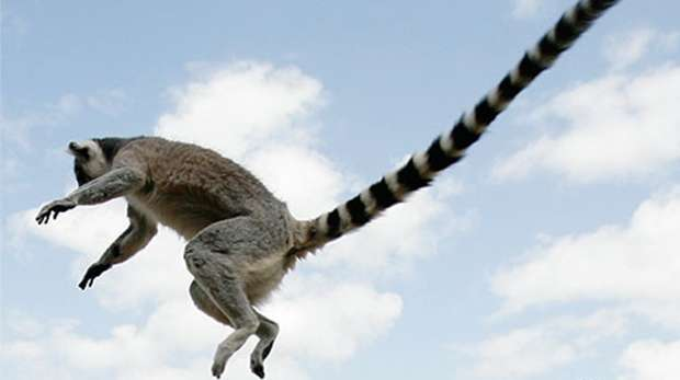 Ring-tailed lemur at ZSL Whipsnade Zoo