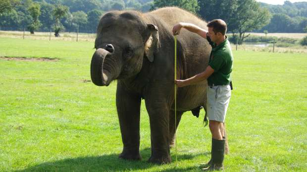 An elephant being measured by its keeper for the annual weigh-in at ZSL Whipsnade Zoo.