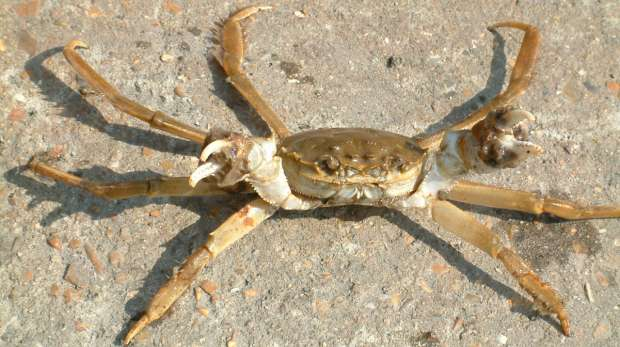 Mitten Crab Thames Invasive Species