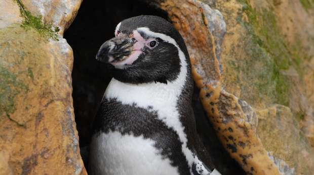 Penguin at ZSL Whipsnade Zoo