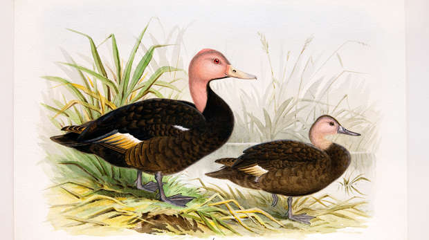 Pink-headed ducks by Henry Jones