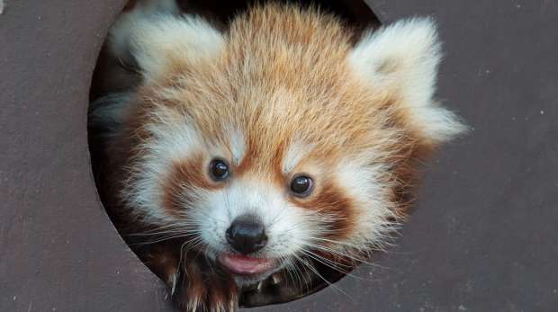 Red panda cub at ZSL Whipsnade Zoo