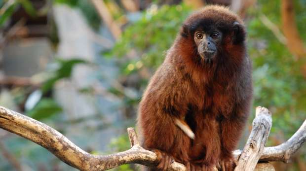 A red titi monkey at ZSL London Zoo