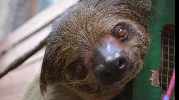Close up of a sloth's face in Rainforest Life at ZSL London Zoo