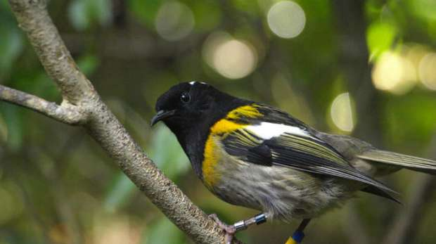 Small Male Hihi Matt Gribble