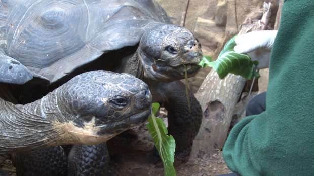 Galapagos tortoises Polly and Prescilla being fed at ZSL London Zoo