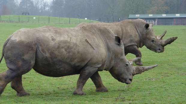 White rhinos at ZSL Whipsnade Zoo