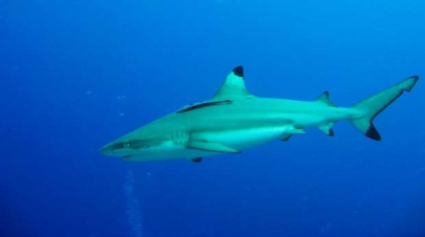 blacktip reef shark; chagos; tagging;