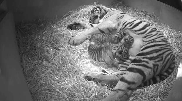 Tiger cubs feeding with Melati