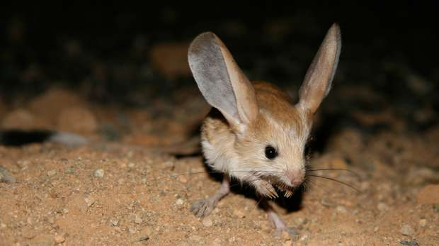 Long-eared jerboa