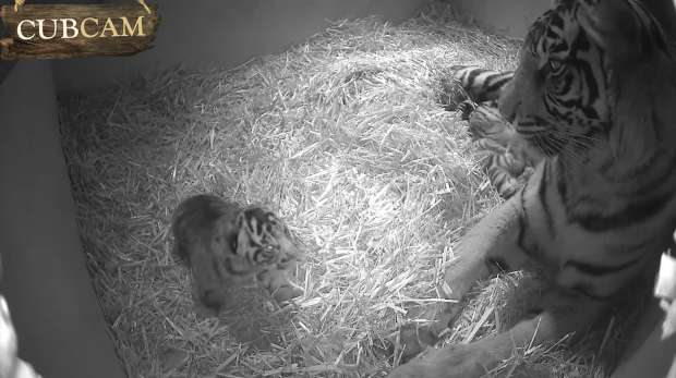 Melati looks at cub as it opens it eyes at Tiger Territory.