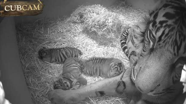 Cub Cam still of Melati and her cubs in their den at Tiger Territory