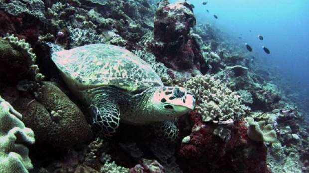 Turtle; Coral; Reef; Chagos