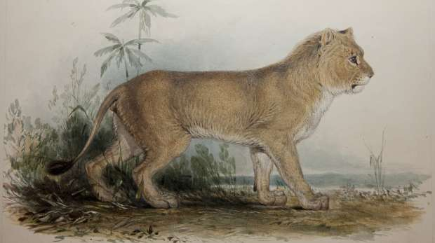 Watercolour painting of an Asian lion by Edward Lear circa 1835