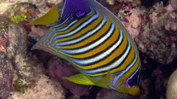 Regal angelfish; Chagos
