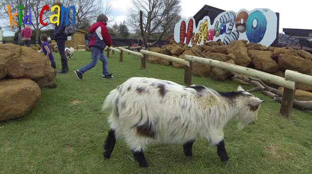 A pygmy goat filmed on Kid Cam at ZSL Whipsnade Zoo's Hullabazoo Farm.