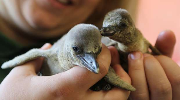 Penguin chicks at ZSL London Zoo