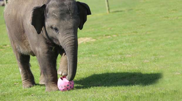 Scott the baby elephant playing with easter eggs