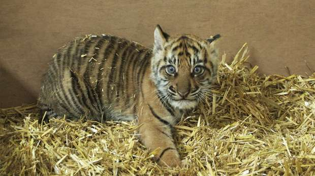 Tiger cub's first health check
