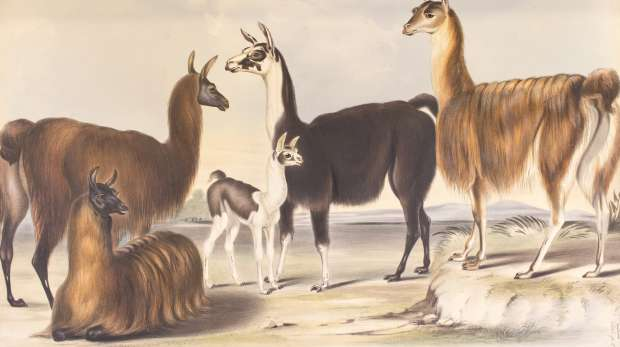 Lithograph of llamas drawn from life by B. Waterhouse Hawkins at Knowsley Menagerie December 1844
