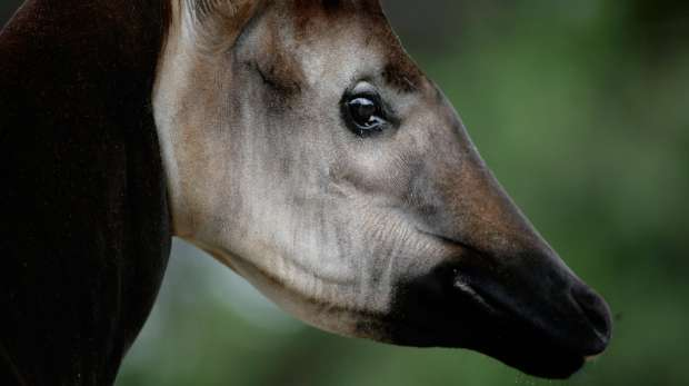 Close-up of an okapi at ZSL London Zoo