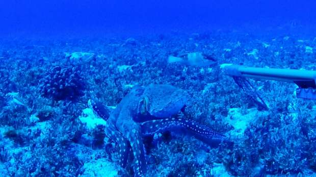 Octopus caught on camera on a Pitcairn reef