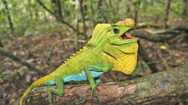 Image of a hump nosed lizard © RUCHIRA SOMAWEERA