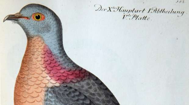Passenger pigeon, extinct