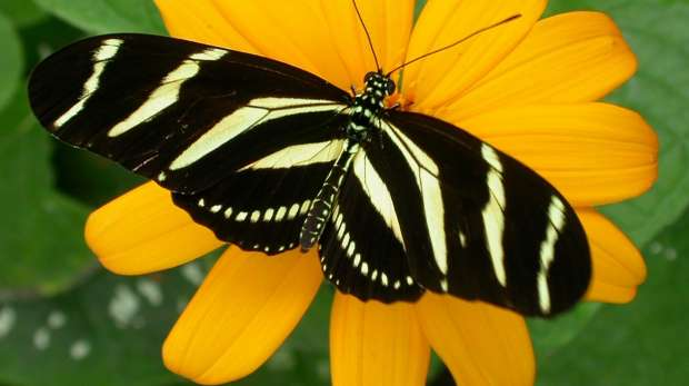 Heliconius charitonia butterfly
