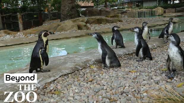 Penguin chicks graduating onto Penguin Beach.