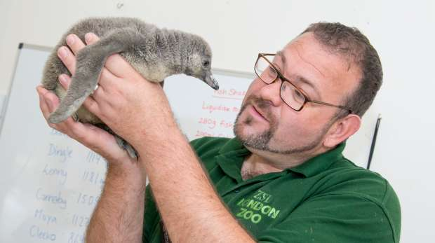 Keeper Adrian with penguin chick
