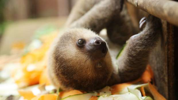 baby sloth at feeding time
