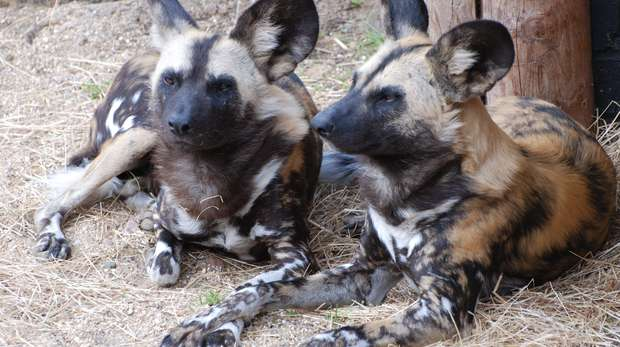 Two mottled, caramel coloured African hunting dogs take a contented break on strawstrewn terrain. Their large, black, rounded ears with tufts of creamy hair at the base stay perked up - ever alert.