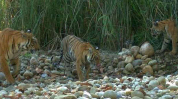 Bengal Tigers in the Chitwan Parsa National Park complex