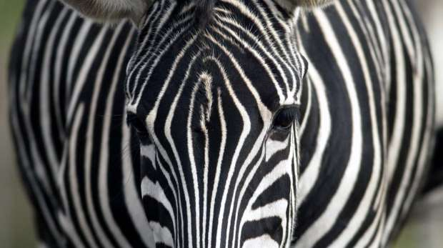 Chapman's zebra looks head on into the camera lens, its intricate facial pattern a maze of black and white stripes. Its head topped by a black fringed white mowhawk and dark eyes framed by black eyelashes.