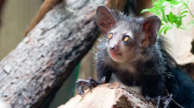 A wide-eyed aye-aye grips onto a log with its long clawed fingers