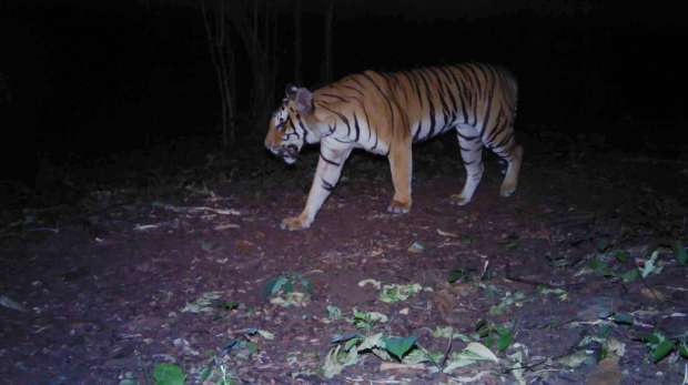 Tiger in Salakpra Wildlife Sanctuary, Thailand