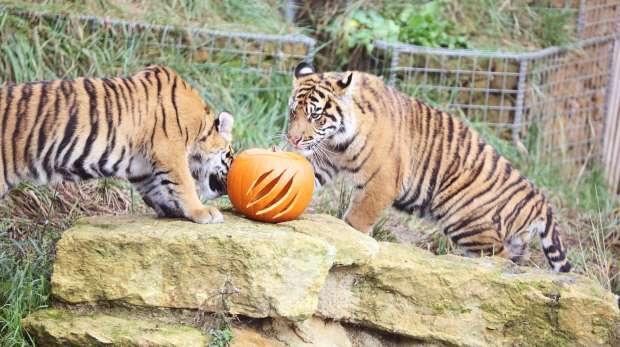 Two tiger cubs investigate pumpkin