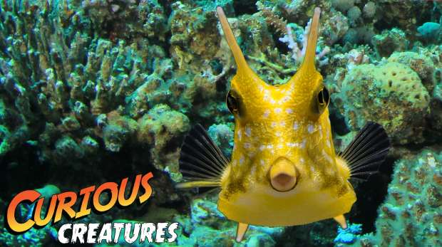 Longhorn cowfish Curious Creatures