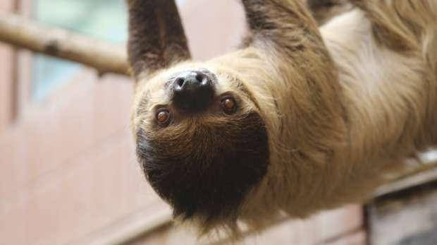 Sloth - Leander hanging down at rainforest life