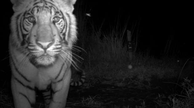 A tiger is caught by a camera trap in Nepal