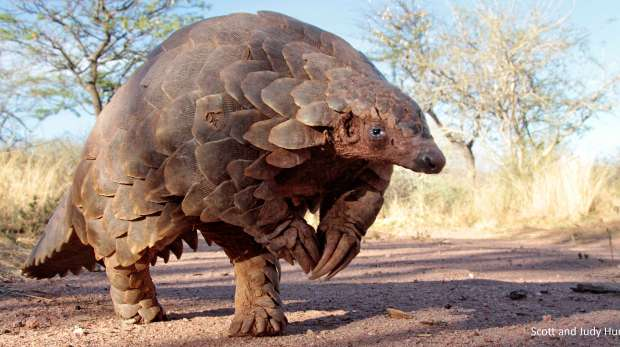 Temminck's ground pangolin. Picture: Scott and Judy Hurd
