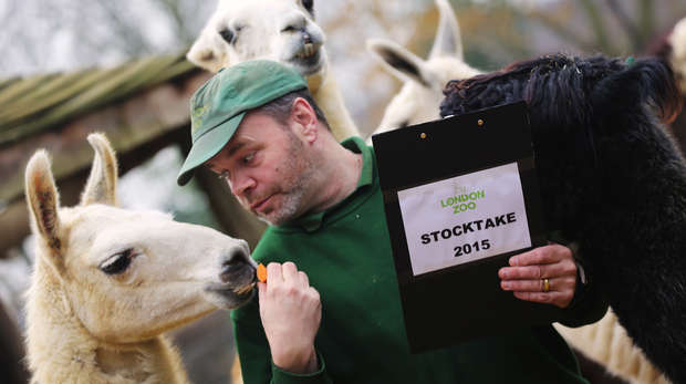 Llamas at the Stocktake 2015