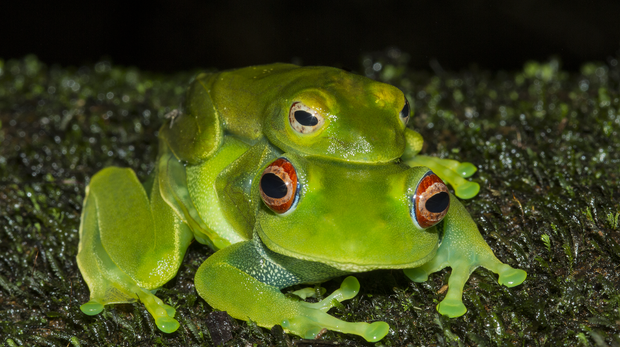 Boophis luteus frog in Madagascar