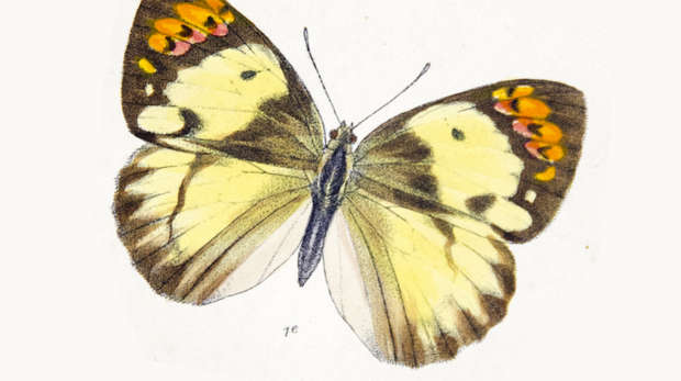 Butterfly Teracolus bacchus detail from Plate 24 of the monograph of the genus by Emily Mary Bowdler Sharpe, lithograph by M. Horman Fisher