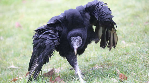 Jaffar the Black Vulture is taken on a walk around London Zoo