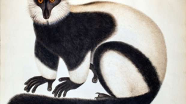 Black and white ruffed lemur image, Watercolour, bodycolour and pencil. Circa 1829-1831