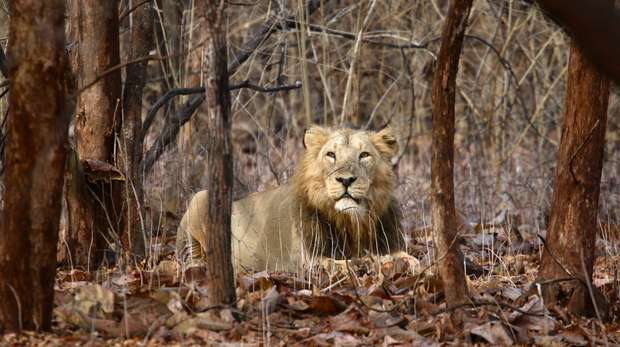 male Asiatic lion relaxing in Gir Forest National Park