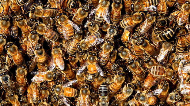 Honeybees square image
